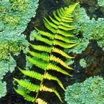 Autumn Fern on Lichen