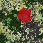 Autumn Lichen I