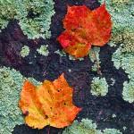 Autumn Lichen II