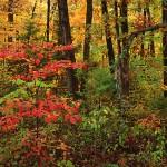Autumn Woods II