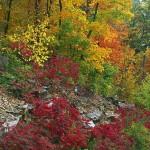 Autumn Woods and Sumac
