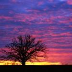 Burr Oak and Winter Sunset