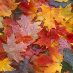 Maple Leaves VI