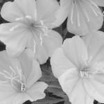 B&W Glade Lilies