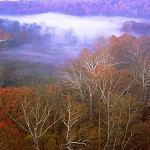 Sycamores and Valley Fog
